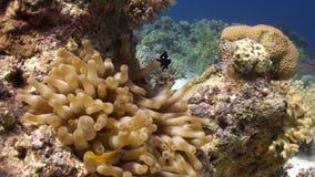 Anemoon en clownfish op achtergrond van onderwater zandige bodem in Rode overzees stock footage