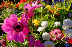 Anemoon en madeliefjemengsel bij de lente Stock Foto