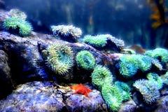 Anemoon en Oranje Zeester Stock Foto's