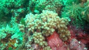 Anemoon en zacht groen koraal op schone duidelijke zeebedding onderwater van de Maldiven stock footage
