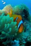 Anemoon met clownfish Royalty-vrije Stock Afbeeldingen