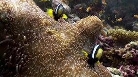 Anemoonactinia andclown vissen onderwater natuurlijk aquarium van overzees en oceaan stock video