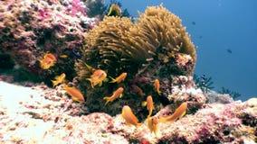 Anemoonactinia andclown vissen onderwater natuurlijk aquarium van overzees en oceaan stock videobeelden