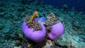 Anemoonactinia en heldere oranje clownvissen op zeebedding onderwater van de Maldiven stock videobeelden