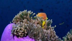 Anemoonactinia en heldere oranje clownvissen op zeebedding onderwater van de Maldiven stock footage