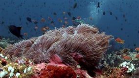 Anemoonactinia en heldere oranje clownvissen op zeebedding onderwater van de Maldiven stock video