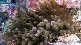 Anemoonactinia op zeebedding onderwater van de Maldiven stock footage