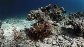 Anemoonactinium en clownfish onderwater op zoek naar voedsel in Rode overzees stock video