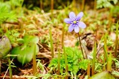 Anemoonhepatica in de lente stock afbeeldingen