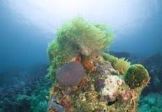 Anemoonkoraal de Maldiven Royalty-vrije Stock Afbeeldingen