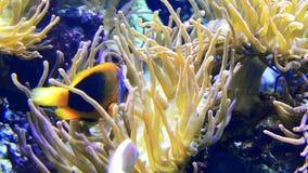 Anemoonvissen het zwemmen stock footage