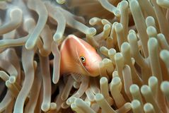 anenome ροζ ψαριών Στοκ φωτογραφίες με δικαίωμα ελεύθερης χρήσης