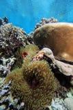 anenome ψάρια κλόουν Στοκ Φωτογραφία
