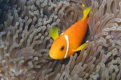 Anenome Fische Stockfotos