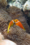Anenome Fish Royalty Free Stock Photos