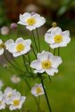 Anenome japonais Images stock