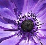 Anenome púrpura fotografía de archivo
