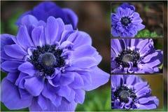 Anenome púrpura Fotografía de archivo libre de regalías