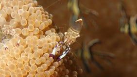 Anenome shrimp Stock Images
