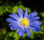 Anenome. Single blue anenome flowerin garden Stock Image