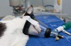 Anestesia del gatto Immagini Stock