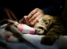 Anestesia veterinaria Imagenes de archivo