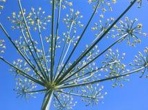 Aneth de floraison image libre de droits