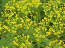Aneth de floraison Photos libres de droits