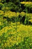 Aneth jaune Image libre de droits