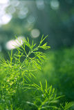 Aneth vert Image stock