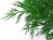 Aneth vert avec des baisses de l'eau photographie stock