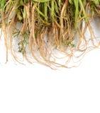 Anethum graveolens στο άσπρο υπόβαθρο Στοκ φωτογραφία με δικαίωμα ελεύθερης χρήσης