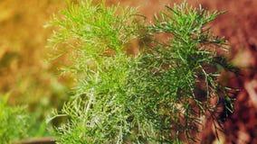 Anethumgraveolens arkivfoto