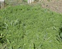 Aneto crescente no jardim A cama da erva-doce Imagens de Stock