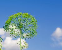 Aneto di fioritura Fotografia Stock