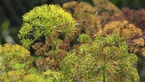 Aneto nel giardino Aneto di fioritura stock footage