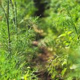 Aneto no jardim greenery foto de stock