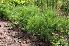 Aneto orgânica crescido Imagem de Stock