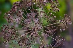 Aneto secco ombrello (anethum graveolens) Fotografie Stock Libere da Diritti