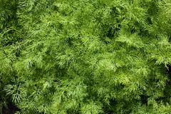 Aneto verde Foto de Stock Royalty Free