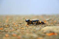 anfíbio Salamandra em um trajeto nas montanhas fotos de stock