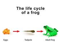 Anfíbios da metamorfose, por exemplo, o ciclo de vida das rãs ilustração royalty free