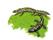 Anfíbios, newt e salamandra atados ilustração stock