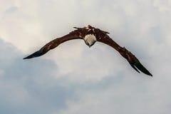 Anfalla Eagle Royaltyfri Foto