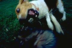 anfalla hund royaltyfri foto