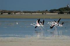 Anfang des Flamingos in Al Jazeerah Khor von UAE Stockfotos