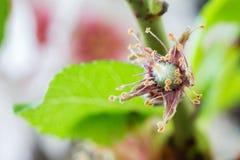 Anfangsstadium von den Mandeln, die auf einem Mandelbaumast lokalisiert wachsen Stockbild