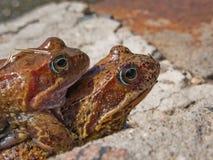 Anfibio animale della rana sulla natura e sul primo piano dell'occhio Fotografie Stock