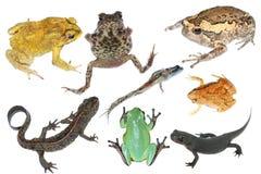 Anfibio dell'accumulazione dell'animale selvatico Fotografie Stock Libere da Diritti