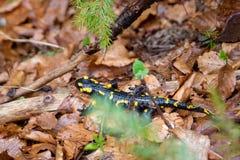Anfibio nero con i punti gialli, le specie più comuni di salamandre, fuggire nella foresta immagini stock